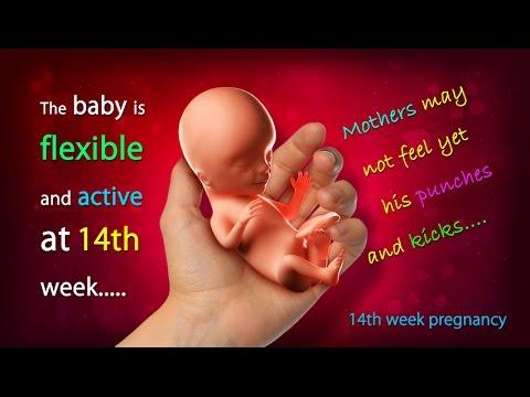 Kích thước của thai nhi tại tuần thứ 14 của thai kỳ