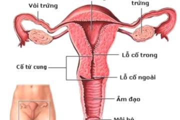 Cơ chế chung sản xuất nội tiết của hệ sinh dục nữ