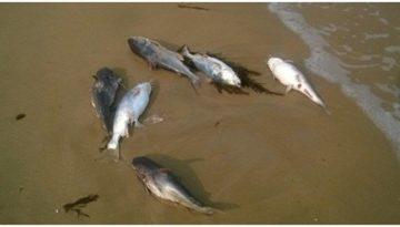 Quảng Bình bắt giữ xe đông lạnh thu mua cá chết