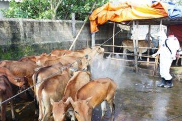 Công điện khẩn về bệnh nhiệt thán từ gia súc lây sang người