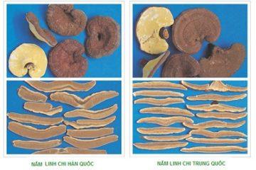 Bí quyết chọn nấm linh chi Hàn Quốc đảm bảo chất lượng