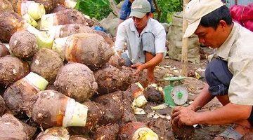 Ngôi làng từ xưa tới nay chưa có ai bị ung thư: Bí quyết là món khoai phổ biến ở VN