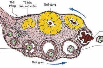 Hoạt động của buồng trứng và vai trò của Oestrogen