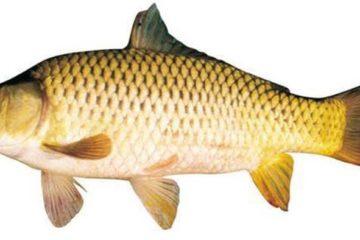 Ăn quá nhiều cá có thể gây hại nghiêm trọng