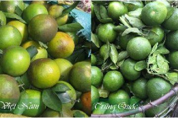 Cách phân biệt cam Việt Nam và cam Trung Quốc