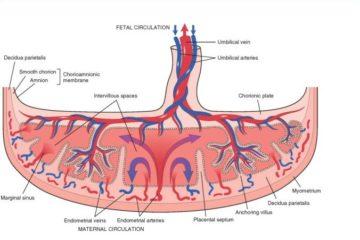 cấu tạo của nhau thai