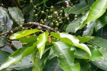 Những lợi ích tuyệt vời của cây vối