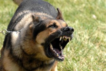 Triệu chứng điển hình của chó, mèo dại là gì?