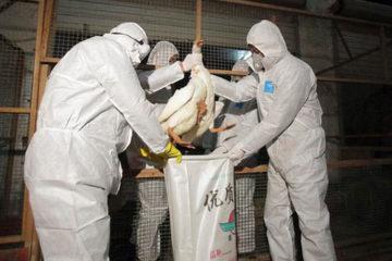Nguy hiểm biến thể cúm H5N2 tại Đài Loan