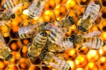Bao nhiêu con ong có thể làm cho nạn nhân tử vong tức thì?