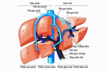 Hình ảnh phân thùy gan