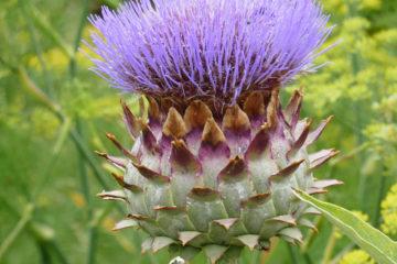 Tác dụng tuyệt vời của hoa atiso