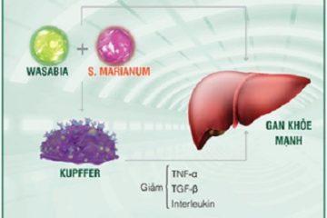 Phát hiện mới về kẻ hủy hoại gan từ tế bào Kupffer 'tăng động'