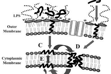 Kháng sinh nhóm Peptid