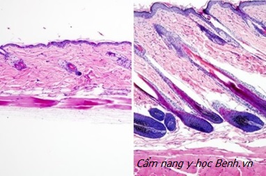 So sánh lớp lông mọc sau kích hoạt tế bào gốc
