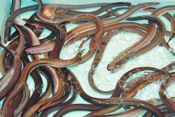 Thuốc tránh thai được dùng nuôi vỗ béo lươn ở Trung Quốc