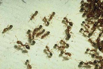 Mách bạn bí quyết diệt kiến trong nhà