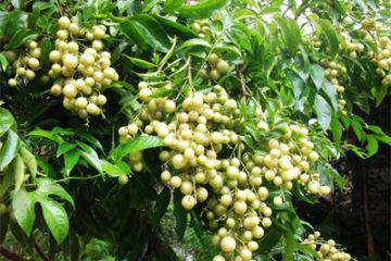 Tác dụng ít biết đến của cây mắc mật