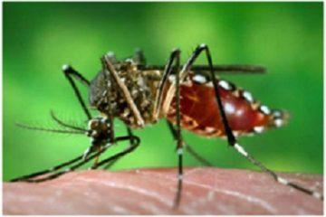 Muỗi biến đổi gien có thể chống lại bệnh sốt rét