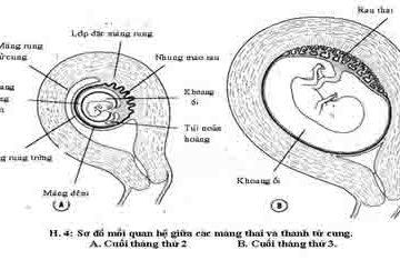 Sự hình thành và phát triển của rau thai