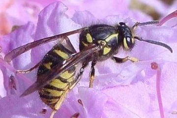 Biểu hiện nhiễm độc và nhận dạng loại ong nguy hiểm