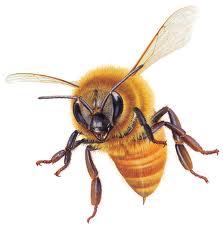 Nọc độc của ong – Nguy hiểm chết người
