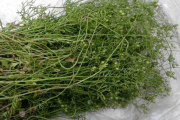 Những lưu ý khi sử dụng lá mùi, hạt mùi để phòng bệnh sởi