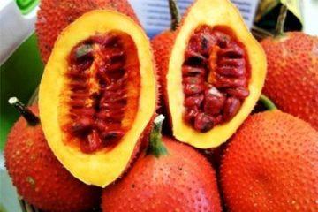 Sai lầm khi ăn quả gấc có thể gây độc