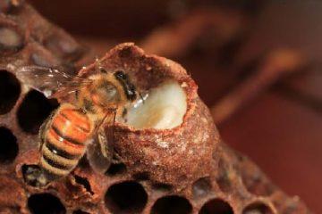 Một trăm phần trăm nguồn sữa ong chúa đều là nhân tạo
