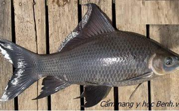 Nghe đồn uống mật cá éc trị bệnh tim: Người đàn ông suýt thiệt mạng