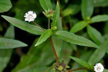 Những bài thuốc chữa bệnh từ cây nhọ nồi