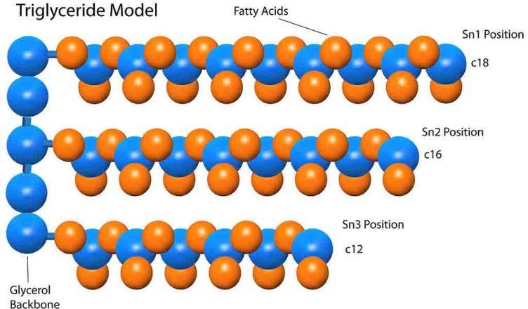 Cấu trúc Triglyceride