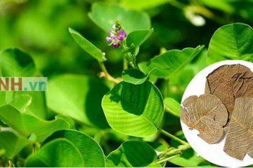 Cây Kim tiền thảo vị thuốc quý chữa các bệnh lý về sỏi hiệu quả
