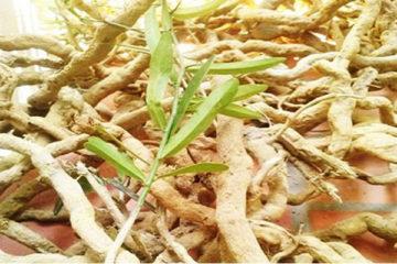 Nhận biết cây xáo tam phân và những công dụng trong việc điều trị bệnh